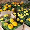 Петунья, бархатцы, цинерария и другие цветы украсят летом столицу БАМа